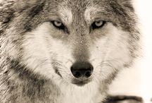 Chiens et loups