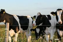 VikingHolstein / VikingHolstein is economic, health and fertile cows with high production and functional conformation.