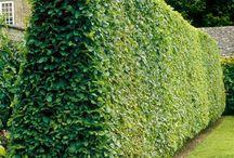 deciduous hedging