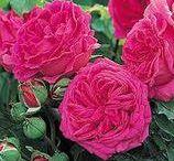 GARDEN - Roses / Rose buying list