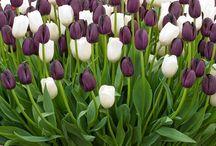 Tulips cantik