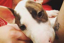 My Bull Terrier  #Beca
