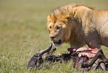African Wildlife / Images of the most amazing creatures on the planet