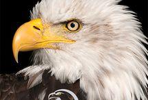 Bald Eagle | Eyeshine Photography / Bald eagle portraits by Eyeshine Photography