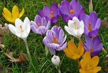 Crocus / Early spring