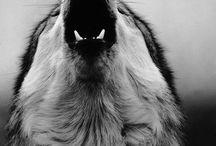 Wolf sadness