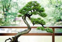 Ağaçlar / Bonzai