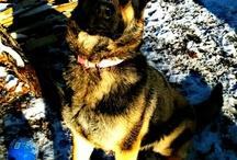 Shi<3 / German Shepherd