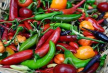 Growing Chillies / Advice and tips on growing chillies