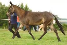 mules et ânes