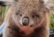 koala voor jenneke