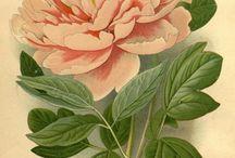 gravure botanique