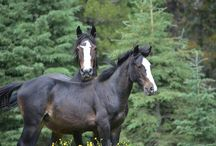 Alberta Horse That Need Our Protection / We must protect & preserve them (Photos by Ken Mcleod)