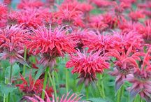 Lovely Perennials / http://dabbiesgardenideas.com