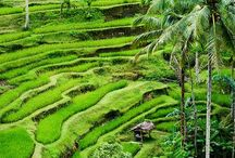 Bali's Rice Terraces / The stunning rice terraces of Bali.