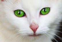 Kissoja - Cats