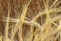 << Barley * Beer * Hops >> / lease visit the GR2Food Archive @ http://gr2food.com/tag/barley/ and http://gr2food.com/tag/beer/ to browse our collection covering health and agricultural issues related to barley, beer and hops