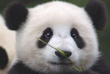 Pandas and animals / The funny pic was a mistake sowy
