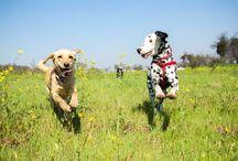 Dalmatian Dog Billy