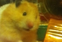 Hamster news / Pictures and videos of Stuart the Hamster. #HamsterNews on twitter.