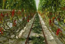 Buying British Grown Tomatoes / Where to buy British grown tomatoes.