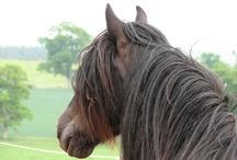 Dales Pony - keep breeding!
