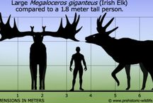 Irish elk / Magnificent creatures still should be here today
