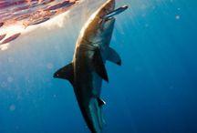 Sharkdom