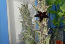 Cactos e suculentas floridas