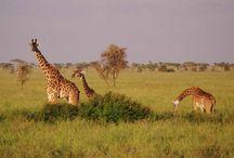 Tanzanie / Découvrez tous nos #treks en #Tanzanie sur http://www.labalaguere.com/trek-tanzanie.html (ascensions #Kilimandjaro, safaris, Zanzibar...)