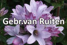 G-Fresh grower Gebr. van Ruiten / The nursery of brothers Van Ruiten is a summer flower and plant nursery, located at the Heereweg at Lisse.