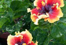 hibiscos
