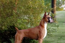 Boxers/dogs / by Meagan Reveles