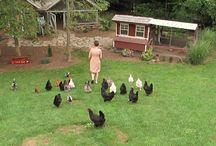 Back Yard Chickens