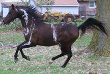 horsestripes