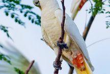 Philipin cockatoo