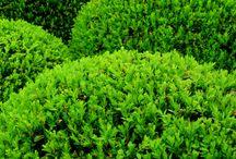 Wychwood Park Front Garden Planting Design / #PlantingDesign for a smart front garden including #topiary #blueplants #purpleplants #whiteplants #climbingroses #woodlandplants #shadeplants #plantsforsun #bulbs