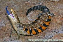 Blue tongue lizards