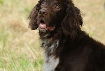Flushing spaniels / Training flushing spaniels for upland hunting and AKC hunt tests and field trials