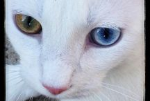 Berg - Our Adopted Turkish Van Cat / by Hope Xchange Consultancy