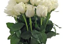 Sovereign Icebreaker Rose / Premium white Sovereign Rose Icebreaker