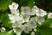 Homeopathie / Planten die effect hebben op je gezondheid en geestelijk welzijn,