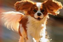 Cavalier cuteness
