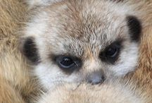 Meerkats / Favourite pictures of meerkats