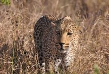Unidentified Leopards