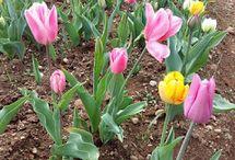Tulipani Italiani, torna il grande prato fiorito a Cornaredo da meta marzo