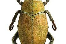 scarabaeidae melolontinae