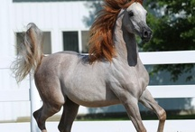 خيول عربيه