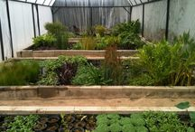 """pond and water garden videos / We are the premiere """"Local"""" Grower of Aquatic Plants in Los Angeles. Bog Plants – With a large array of cuttings to specimens. We can custom grow as well for all your aquatic needs. The most popular bogs we carry are Arrowhead, Water Iris, Cattail, Fairy Lily, Flowering Reed, Lizard Tail, Taro, Spider Lily, and many more. We specialize in the hard to find aquatic plants from all over the world. SunlandWaterGardens.com - THE PREMIERE GROWER OF AQUATIC PLANTS"""
