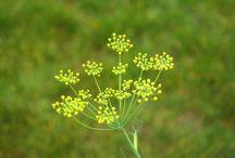 ervas aromáticas bios fitos